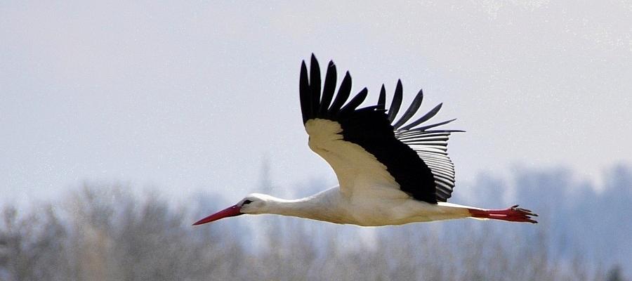 Ein fliegender Storch.